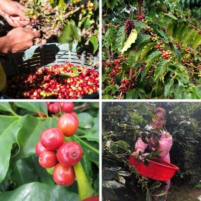 500GR Cà phê đá ANNI COFFEE Buôn Mê Thuột - cafe rang xay, nguyên chất, gu đậm - 80% Robusta + 20% Arabica